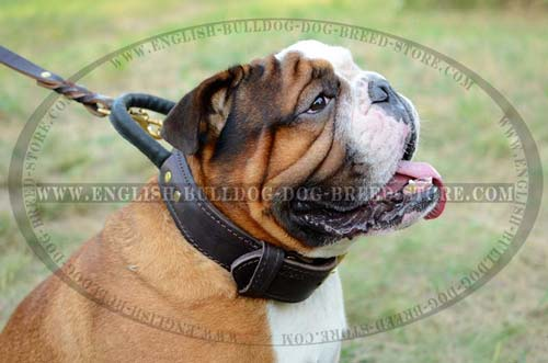 English Bulldog durable leather collar with handle and D-ring