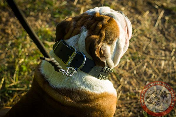 Pure leather English Bulldog collar with easy adjustable buckle