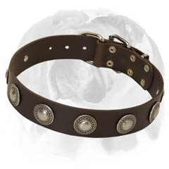 English Bulldog leather dog collar with conchos
