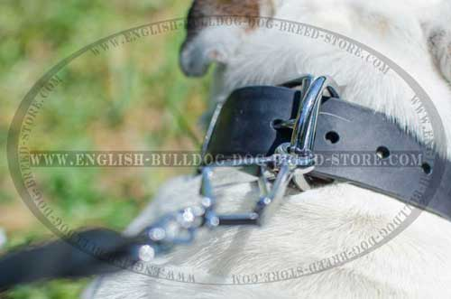 Great choice leather dog collar for English Bulldog breed