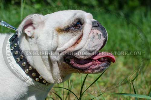 English Bulldog breed collar embellished with 3 rows of pyramids