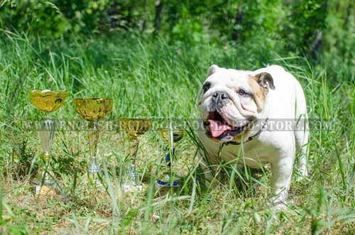 Chic leather dog collar for powerful English Bulldog breed