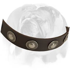 English Bulldog collar with rust-proof D-ring and buckle