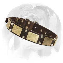 English Bulldog leather dog collar with massive plates and studs