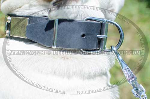 Bedazzling leather dog collar for English Bulldog breed