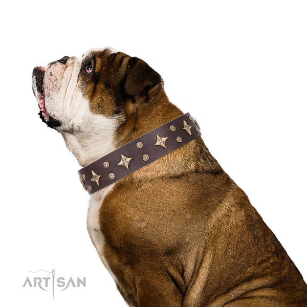 English Bulldog studded genuine leather dog collar for everyday walking