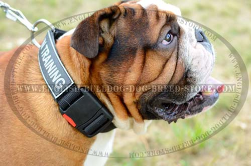 English Bulldog nylon collar for training