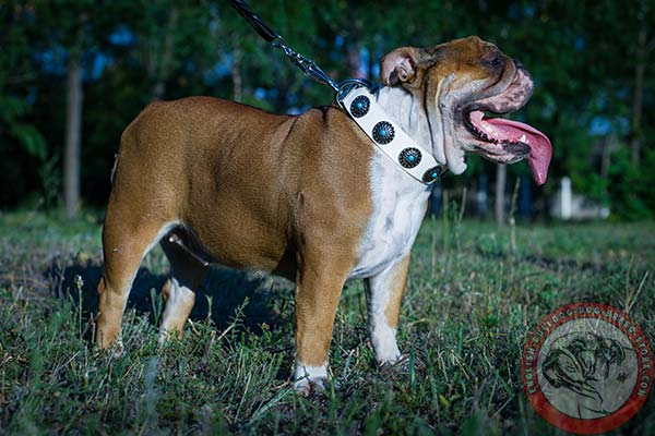 English Bulldog white leather collar of classic design with traditional buckle for basic training