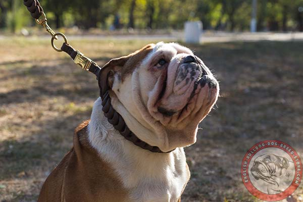 English Bulldog brown leather collar with rust-free hardware for better comfort