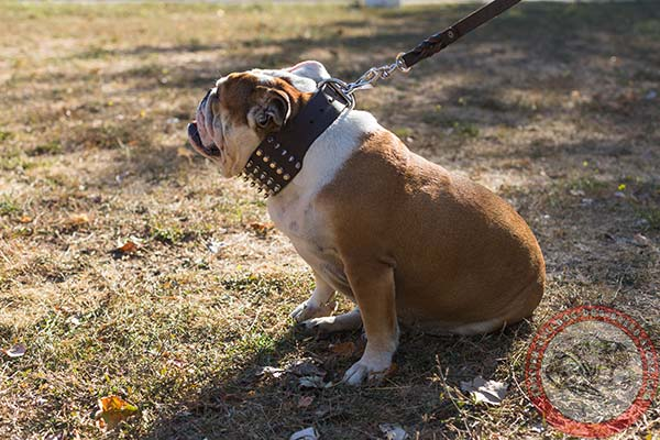 English Bulldog brown leather collar with rust-free hardware for professional use