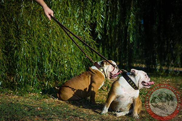 English Bulldog brown leather collar of classic design with d-ring for leash attachment for improved control
