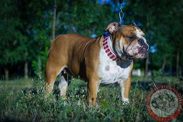 English Bulldog pink leather collar of genuine materials with traditional buckle for walking