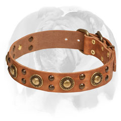 Leather Collar With Brass Studs for English Bulldog