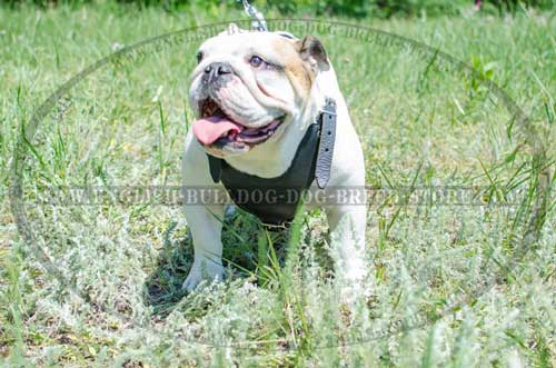 English Bulldog breed harness with no decorations