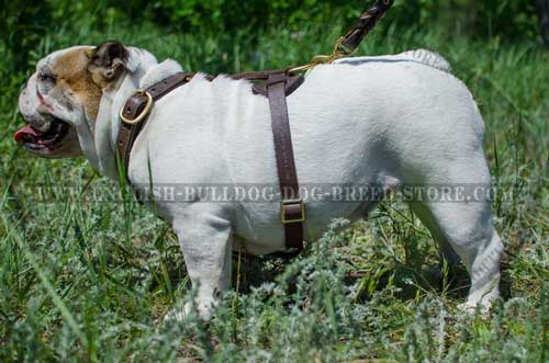 Tear-resistant leather dog harness for English Bulldog breed