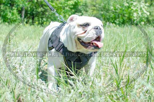 English Bulldog breed harness light weight for training
