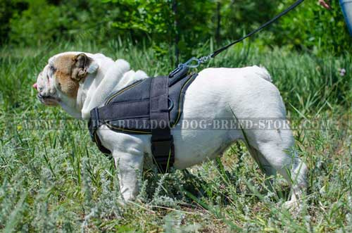 English Bulldog breed harness for daily outdoor activities