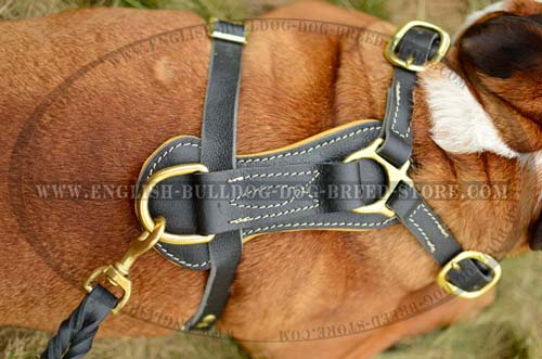 English Bulldog harness with  D-ring for a leash