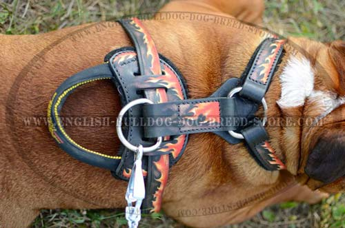 English Bulldog harness with handle and D-ring