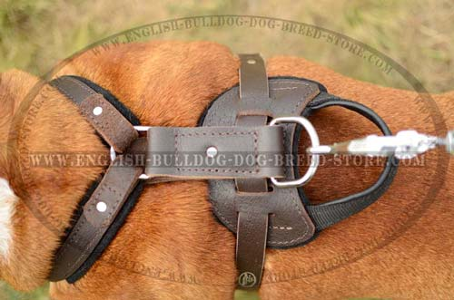 English Bulldog Harness with felt padding