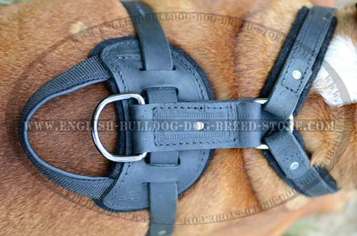 English Bulldog  harness with D-ring
