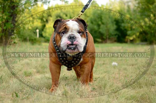 English Bulldog harness with brass decoration