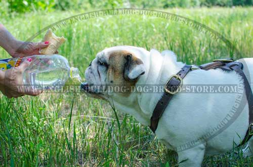 English Bulldog harness of leather to train your dog