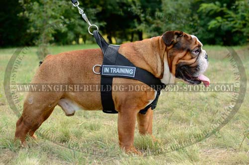 English Bulldog harness of nylon material