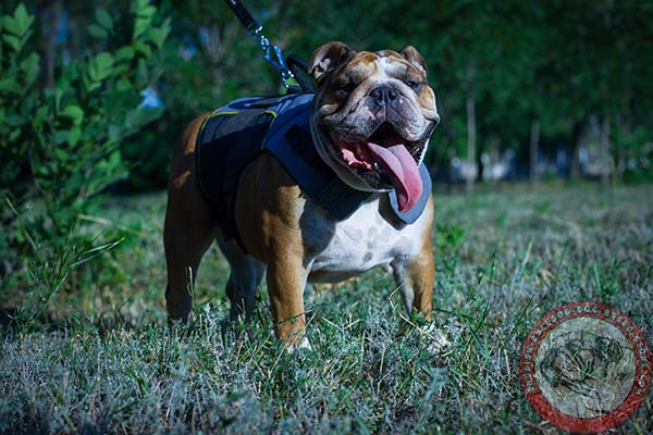 English Bulldog nylon harness of high quality with d-ring for leash attachment for daily walks