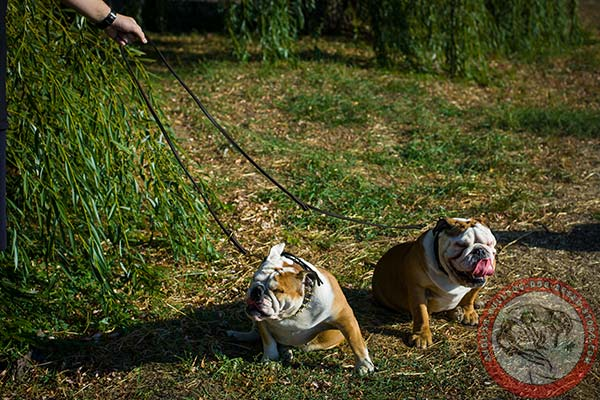 English Bulldog leather leash with non-corrosive brass plated hardware for improved control