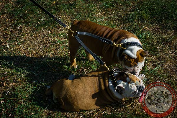 English Bulldog leather leash of lightweight material with brass plated hardware for walking