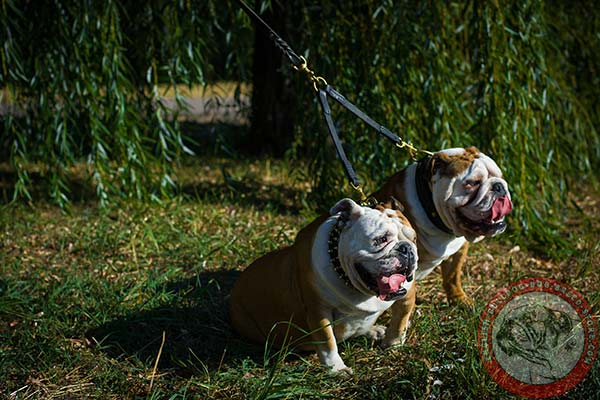 English Bulldog leather leash of lightweight material with brass plated hardware for quality control