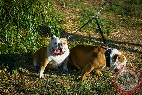 English Bulldog nylon leash of high quality with nickel plated hardware for improved control