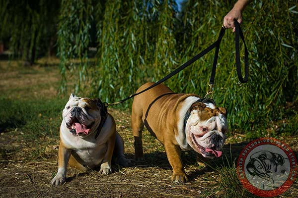 English Bulldog nylon leash of lightweight material with brass plated hardware for daily walks