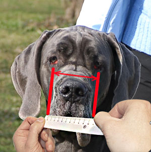 Make sure you measure your English Bulldog correctly