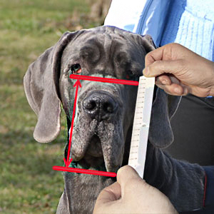 Make measurements of your English Bulldog attentively
